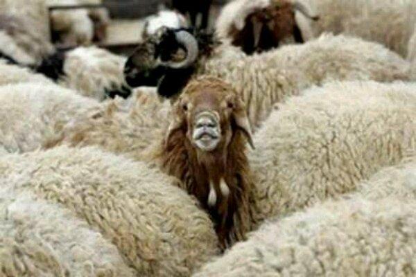 یک گوسفند زنده متوسط؛ یک میلیون تومان